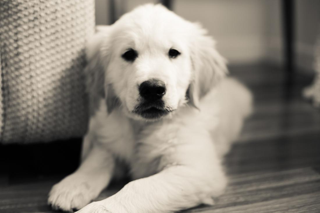 Puppy portraits Denver Colorado